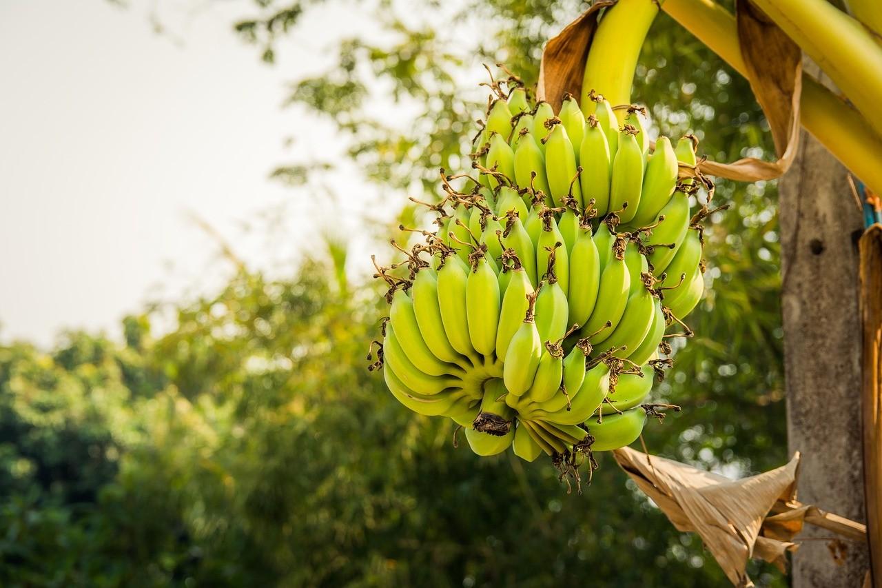 бананы в природе фото швеции