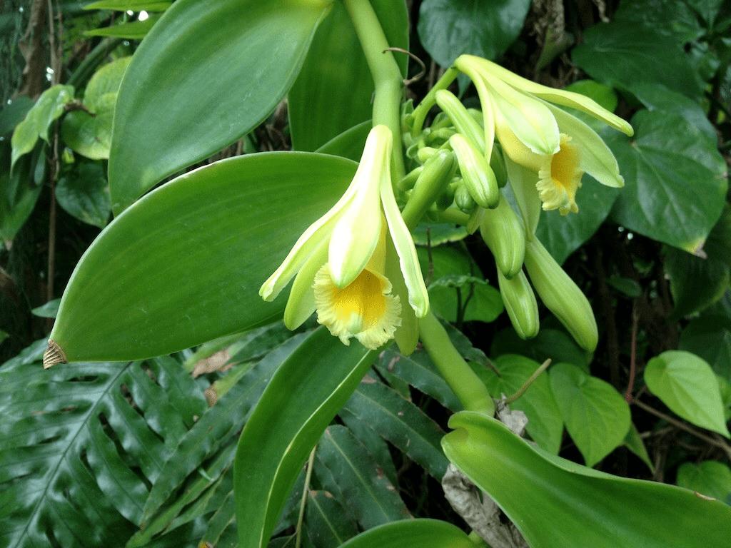 Вкусовые особенности ванили